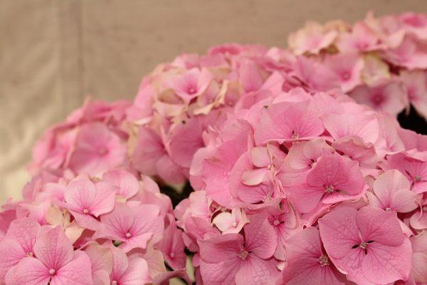 fleurs, plantes, nicolas, fleurs nicolas, fleuriste, oloron, fleuriste oloron, bouquet, mariage, livraison, livraison fleurs,